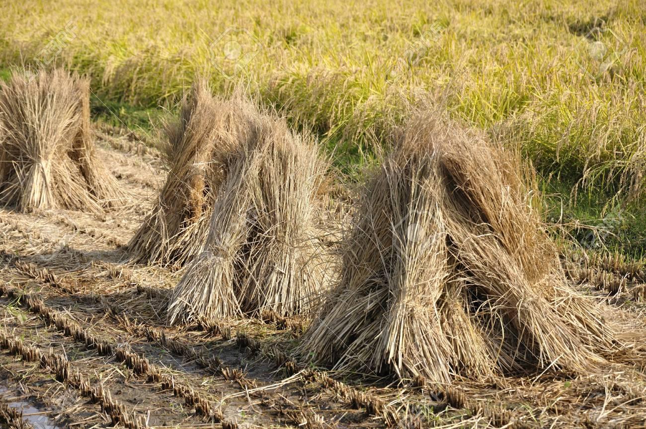 Patentan un método para eliminar el exceso de nitrato del agua que utiliza paja de arroz